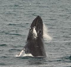 Humpback Whale - Buckelwal (SoniaShari) Tags: nikon d3200 island iceland nature gullfoss wasserfall papageientaucher buckelwal puffin whale wal