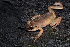 Eleutherodactylus barlagnei (AlexandreRoux01) Tags: matouba robber frog eleutherodactylus barlagnei lhylode de barlagne hylode