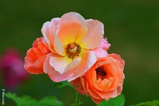 10254- La reine des fleurs...