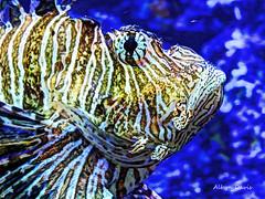 lionfish-2 (albyn.davis) Tags: fish lionfish colors colorful vivid bright vibrant blue yellow stripes eye