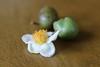 Tea flower and tea seeds (Obubu Tea Farms) Tags: greentea japan japanesetea seeds tea teaflower wazuka