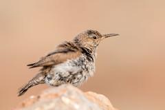 IMG_7212 (ben.roberts999) Tags: bird juvenile nv reno rockwren usa wildlife