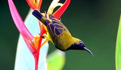 Olive-backed Sunbird male (SIN05-27) 6Z2K9681-1 (ABERLIN2009) Tags: rememberthatmomentlevel1 freedomtosoarlevel1birdphotosonly