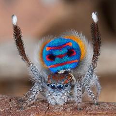 _X8A1713 (1) Maratus speciosus (coastal peacock spider) (Jurgen Otto) Tags: