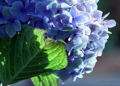 """""""I Guess That's Why They Call It The Blues"""" (~~J) Tags: flowers blue light shadow leaf soft heart bokeh hydrangia soundtrackmonday littlespiderweb"""