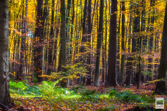 Autumn in the Soignes Forest (JF Schmitz) Tags: wood autumn trees nature ecology colors leaves yellow forest scenery colours belgique colorfull land environment environmentalism ecosystem environnement écologie dominantcolor dominantcolour imagecolorstyleformat rhodesaintgenèse vlaamsgewest écosystèm