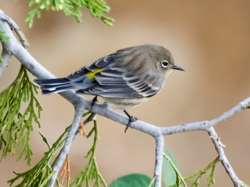 """Yellow-rumped Warbler • <a style=""""font-size:0.8em;"""" href=""""http://www.flickr.com/photos/59465790@N04/8181402129/"""" target=""""_blank"""">View on Flickr</a>"""