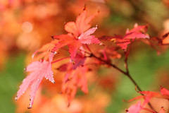 Autumn colours (that Geoff...) Tags: autumn red orange plants color colour fall hoja colors leaves canon garden leaf rojo colours colores japanesemaple acer foglia autunno rosso autumnal otono 500d autunnale otonal
