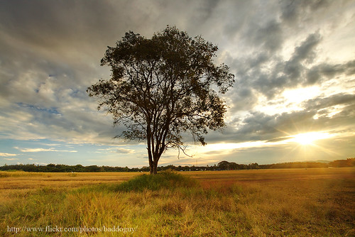 A lonely tree and sunrise
