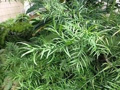 Afrocarpus falcatus (c.young) Tags: savill savillgarden podocarpaceae falcatus afrocarpus afrocarpusfalcatus