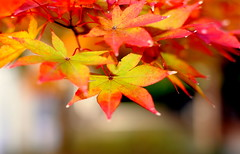 Last days of autumn in Japan.  (Sue Ann Simon) Tags: autumn green fall nature grass rock japan stone outside 50mm leaf maple nikon warm bokeh autumncolours japanesemaple    aki fallcolours  nasasaki nikon50mm d3000 naturebokeh nikond300 bokehtraffic   sueannsimon