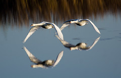 Swan, follow the leader (jdoakey) Tags: uk greatbritain blue england reflection bird reed water animal reflections reeds fly flying wings pretty day britain gorgeous sony great norfolk flight wing feathers feather twin clear stunning norwich british lovely alpha dslr favourite fen soe animalplanet oakley clearsky glassy bif reedbed birdinflight strumpshaw a55 thewildlife strumpshawfen flickraward avianexcellence dslt sal70400g sony70400 flickraward flickraward5 flickrawardgallery sonya55 theinspirationgroup