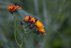 Orange Cluster (Hans van der Boom) Tags: orange flower dof buitengewoon