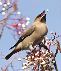 waxwing (Glesgastef) Tags: uk white west bird gardens scotland berry shot action glasgow wildlife natur end migration clarence bohemian waxwing broomhill migrant scandanavia
