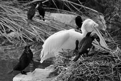 Pelican and cormorants (Gali-Dana) Tags: blackandwhite bird nature zoo israel jerusalem waterbird pelican cormorant biblicalzoo galidana