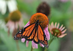 Butterflies are graceful, varied and enchanting, small but approachable... (nushuz) Tags: flowers macro butterfly coneflowers purple bokeh monarch summertime 28 beautifulcolors thinkingaoutitonsuchacoldday degreesbrrr