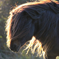A Shaggy Horse Story (Jelltex) Tags: whitecliffsofdover konikhorses stmargaretsatcliffe jelltex jelltecks