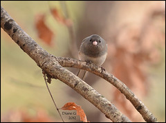Junco (Diane G. Zooms) Tags: nature birds junco darkeyedjunco wildbirds specanimal coth5