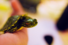 The Great Escape (andrewpabon) Tags: baby turtle aquatic res babyturtle redearslider aquaticturtle