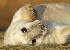 Grey Seal Pup (alison brown 35) Tags: november autumn sea wild baby brown beach ex nature mammal photography grey wildlife ngc young sigma lincolnshire 300mm npc seal breeding pup alison 35 f28 colony 2012 halichoerusgrypus wildlifetrust 14x donnanook canon7d yahoo:yourpictures=yourbestphotoof2012