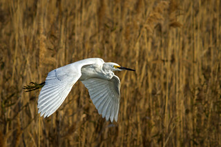 Snowy Egret - Fly By