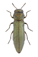 Agrilus sericans Kiesenwetter, 1857 (Nikola Rahme) Tags: animal animals bug insect beetle insects bugs beetles arthropods animalia arthropoda arthropod coleoptera insecta buprestidae jewelbeetle polyphaga metallicwoodboringbeetle metallicwoodboringbeetles buprestoidea jewelbeetles agrilinae