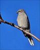 Townsends Solitaire (pjmaudsley) Tags: freedomtosoarlevel1birdphotosonly