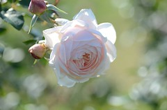 rose in December #1  ~pale pink~ (snowshoe hare) Tags: flowers autumn rose rosemarie botanicalgarden englishheritage   dsc4502