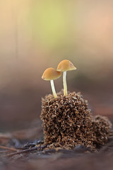 """Conocybe"" (carlespoveda) Tags:"