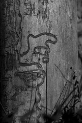 Face | Figures (Reptilian_Sandwich) Tags: wood wild summer bw newmexico walking log solitude shadows ground depthoffield solidarity fallen manualfocus afternoonlight deadfall nobark blackrange prettycanyon