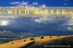 Wild and Free (USFWS Mountain Prairie) Tags: buffalo montana wildlife bison tatonka usfws nationalbisonrange wildliferefuge fws bisonrange montanawildlife fishandwildlifeservice usfishwildlifeservice nationalwildliferefugesystem nwrs