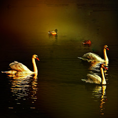 Evening Harmony ~ Happy Birthday dear Martha  (fifich@t - (sick) 2016 = Annus Horribilis) Tags: reflection texture river swan ducks peaceful ps reflet iledefrance cygne goldenlight laseine hss eveningharmony dedicatedphoto squarepicture niksoftware squarephotography harmoniedusoir nikond300 nikkor1685vr bestcapturesaoi magicunicorntheverybest sailsevenseas sailsevenseasmaster magicunicornmasterpieces fifichat1 digimarc2012 frs eveninggoldenlight allrightsreservedfrs fificht frs