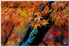20121126_6787_ (Redhat/) Tags: autumn fall japan temple maple kyoto redhat           eikando