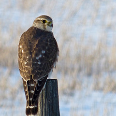 Some good luck on yesterday's Bird Count (annkelliott) Tags: canada bird nature birds alberta merlin perched ornithology avian birdofprey backview fencepost christmasbirdcount highriver falcocolumbarius greatnature smallfalcon sequadrantofcountcircle