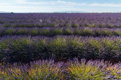 Valensole I. (Tristan K.) Tags: valensole lavande lavandes lavender flower flowers summer purple fields provence france lines bluesky sun été violet champs azur alpesdehauteprovence 04