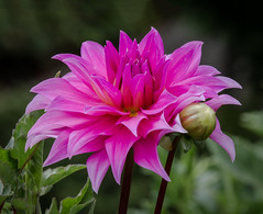 Pink Dahlia (tresed47) Tags: 2016 201608aug 20160805longwoodflowers canon7d chestercounty content dahlia flowers flowerscontent folder longwoodgardens otherkeywords pennsylvania peterscamera petersphotos places takenby us