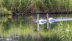 9Q6A2349 (2) (Alinbidford) Tags: heron kingfisher muteswan moorhen greyheron brandonmarsh alancurtis pairofkingfishers alinbidford