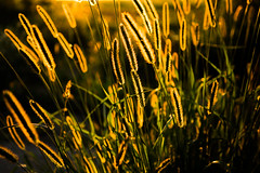 Touch of Summer (--Conrad-N--) Tags: golden grass low light rims