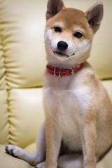 Yotsuba365 Day60 (Tetsuo41) Tags: dog shibainu yotsuba