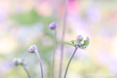 Go Separate Ways (littlekiss) Tags: buds anemone japaneseanemone bokeh flower nature pastel vandusenbotanicalgarden vancouver littlekissphotography
