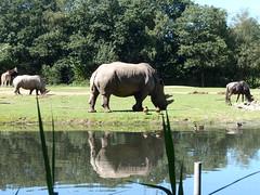 P8172158 (Ninque88) Tags: animals dieren zoo dierentuin outdoor rhinoceros neushoorn