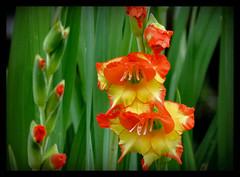 Gladiolen (karin_b1966) Tags: blume flower blte blossom pflanze plant garten garden natur nature 2016 gladiolen yourbestoftoday