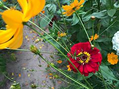 Inside the Flowery Maze (glantine) Tags: inside flowery maze cosmos zinnia childrensgarden cheznous feastforthesoul feast soul couleurs colours colors composition