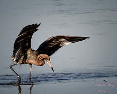 Water Ballet Act 2 (dbking2162) Tags: wildlife water wading birds bird ballet reddish egret nature florida fort myers beach