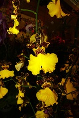 """photographed at """"orchids in the park"""", orchid 7-16 (nolehace) Tags: orchid 716 orchidsinthepark show sale park orchids 2016 summer nolehace sanfranciscoorchidsociety sanfrancisco flower plant bloom fz1000"""