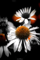Flower Desat (Calvin Morgan) Tags: flower blackandwhite desaturation nikond700 nikon70300 vegetation plants