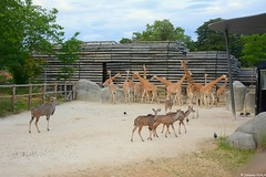 Girafes et grand koudou (Johanna Viala) Tags: girafe grandkoudou pzp parczoologiquedeparis zoodevincennes animaux