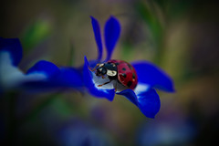 walk among the flowers (http://www.grazynabudzenphotography.co.uk/) Tags: walk among flowers nature natura garden home ladybug flickr flower blue gren grazynaphotography nikon d5200 ngc outdor beauty beautiful