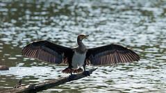 Immature Cormorant (Paul-nature) Tags: cormorant water lake bird immature nature flight wildlife belgium