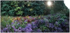 Heathland in late summer (na_photographs) Tags: heide heidekraut heath purple colors nature natur summer morning sun sonne sommer bunt farbig farbe lila violett